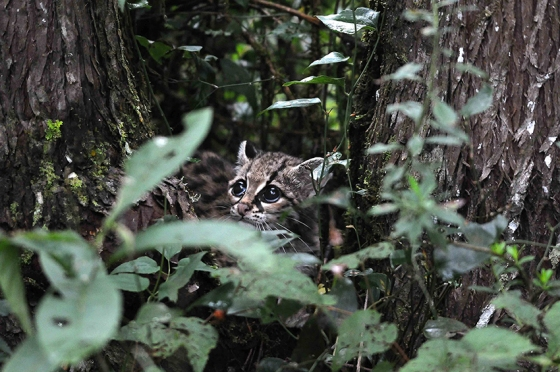 ROBERTO PEDRAZA RUIZMi protegida. El margay, una especie en peligro de extinción, es el felino más pequeño de México. A este ejemplar lo rescaté del cazador furtivo que le arrancó a su madre y, traz una crianza en la que se convirtió en una excelente cazadora, la liberté en una de las reservas que protegemos. Este fue el último momento en que la vi antes de que desapareciera entre el follaje.