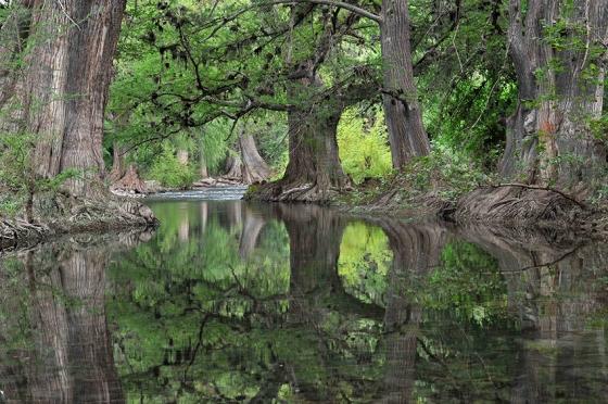 ROBERTO PEDRAZA RUIZViejos amigos. Con raíces enlazadas por cientos de años, sabinos antiguos dan cobijo a las tranquilas aguas del río Jalpan, en la Sierra Gorda.