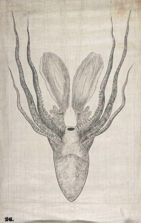 #26 (new series) - Octopus