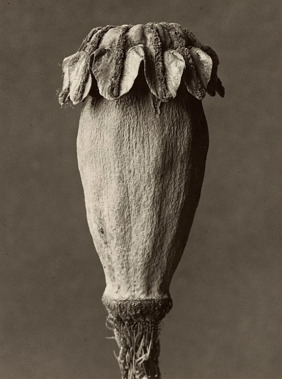 571px-Karl_Blossfeldt._Papaver_orientalis,_1928_-_1932